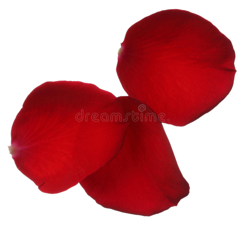 Tre petali di rosa rossa isolati su fondo bianco fotografia stock libera da diritti