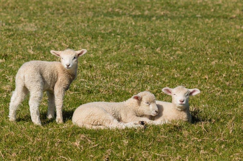 Tre piccoli agnelli immagine stock
