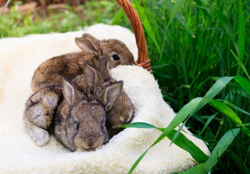 Tre piccoli e bei coniglietti immagine stock libera da diritti