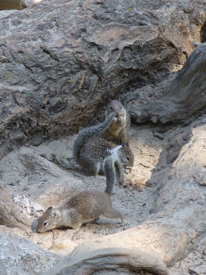 Tre piccoli scoiattoli in parco nazionale di Yosemite fotografie stock