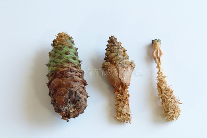 Tre pigne che visualizzano le fasi di danno dagli scoiattoli fotografia stock libera da diritti