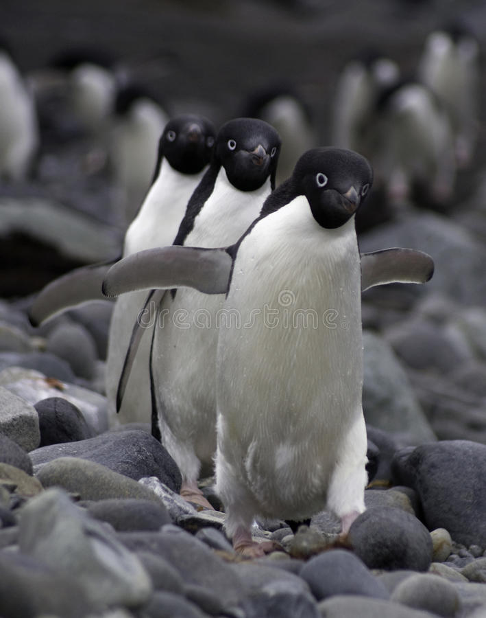 Tre pinguini di Adele immagini stock libere da diritti