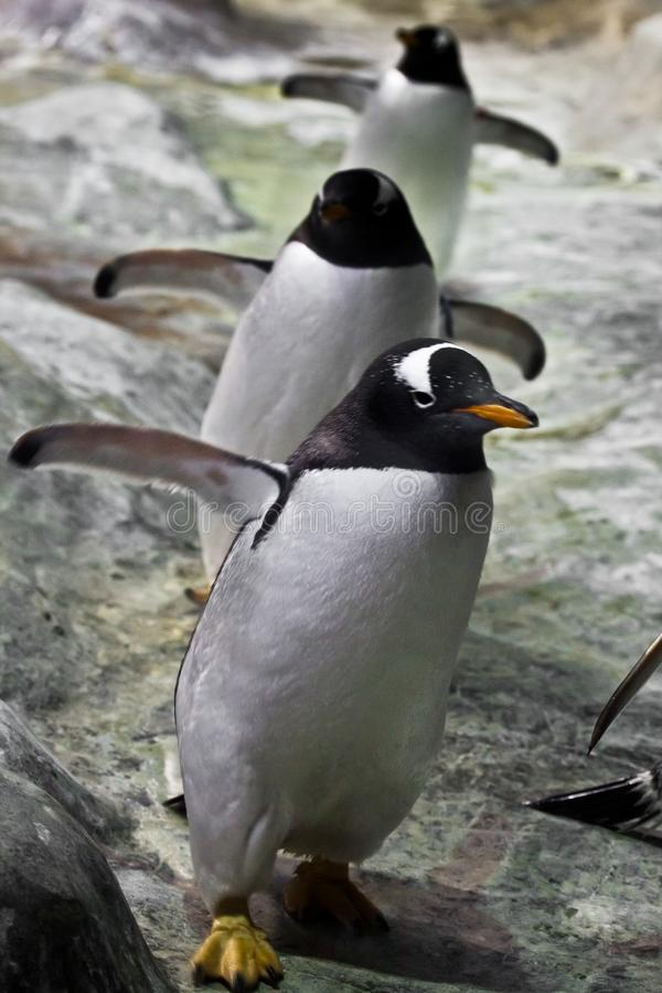 Tre pinguini vanno pinguini sotto-antartici svegli rivoltarsi e spessi giggly e vanno in avanti spargere fuori le loro alette - l immagine stock