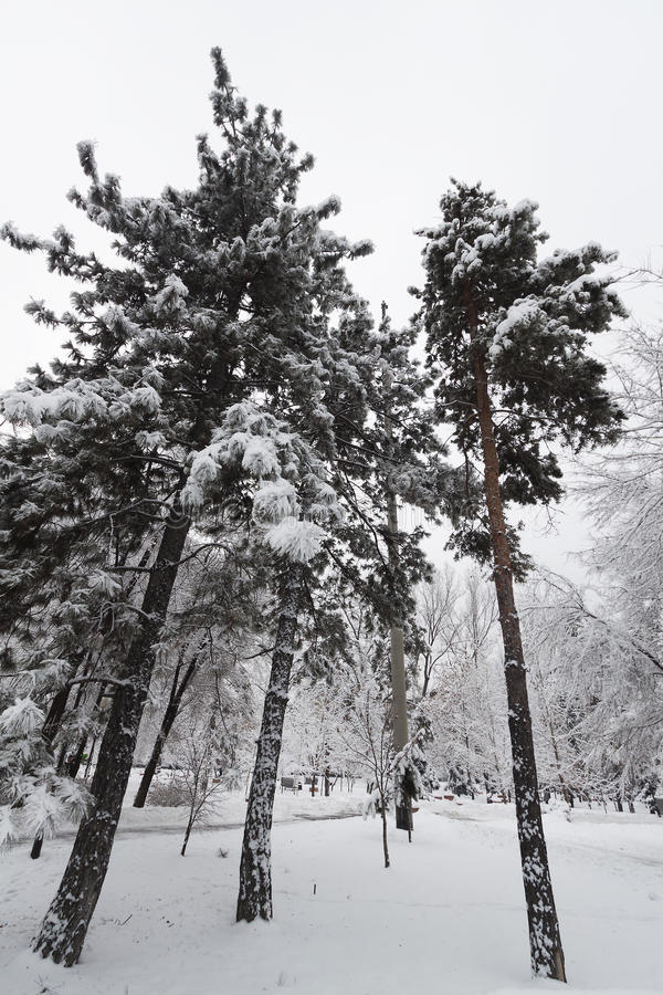 Tre pini nell'inverno nella neve del parco fotografie stock libere da diritti