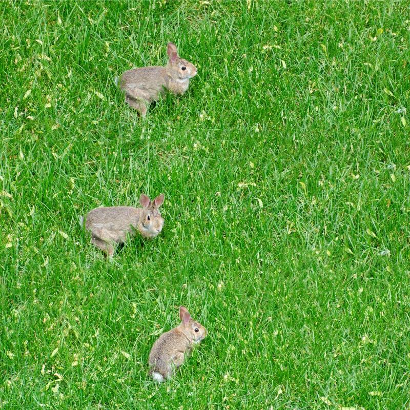 Tre pochi conigli di coniglietto sull'erba immagine stock