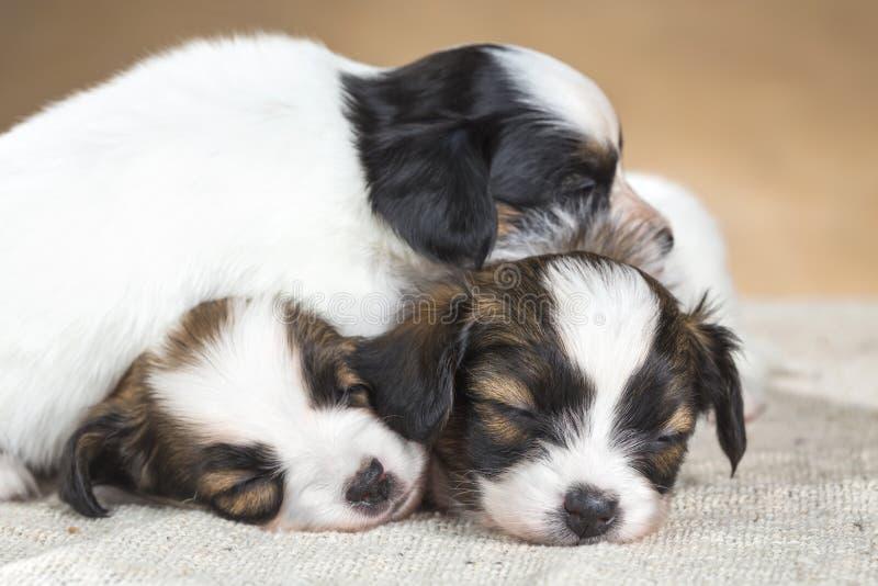Tre poco sonno del cucciolo di Papillon immagine stock libera da diritti