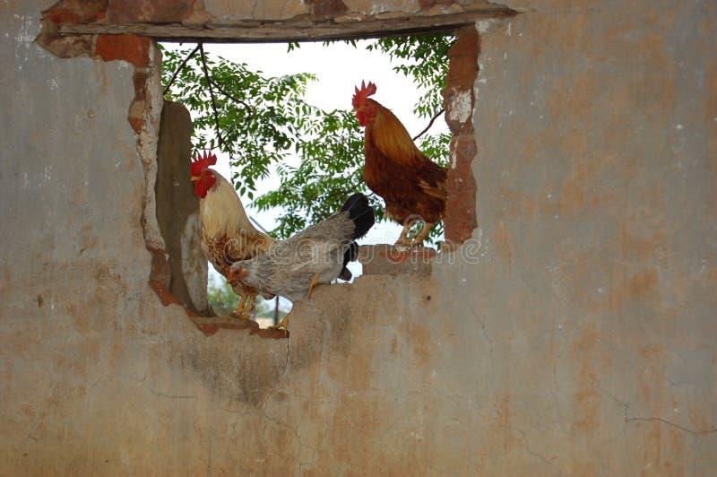 Tre polli fotografie stock libere da diritti