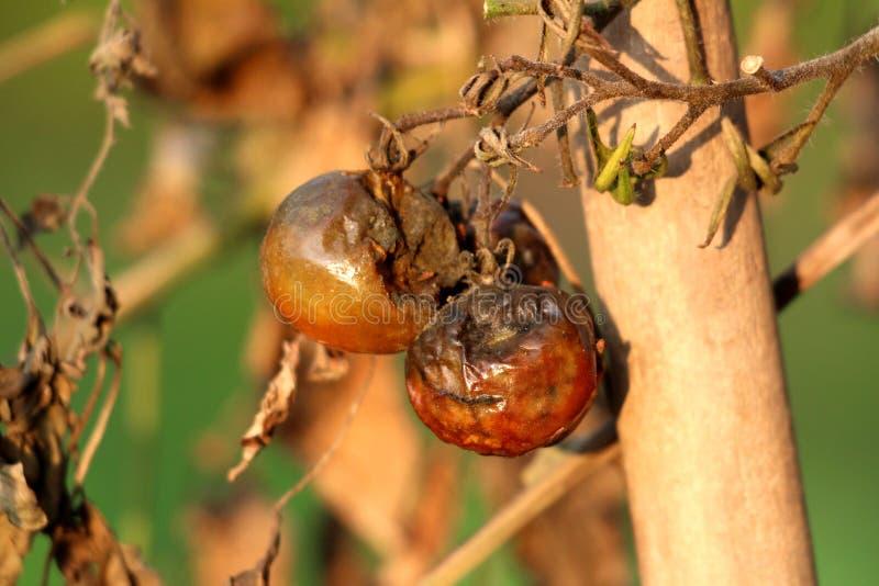 Tre pomodori ben maturi lasciati sulla vite dopo la data di raccolta in giardino domestico locale che inizia a raggrinzirsi ed as fotografie stock