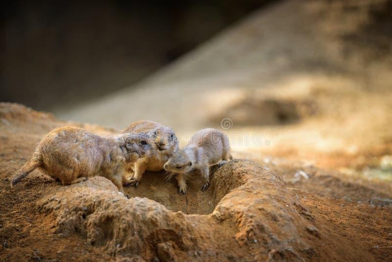 Tre präriehundkapplöpning på deras lya arkivfoton