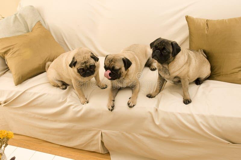 Tre Pugs che appendono fuori fotografie stock libere da diritti