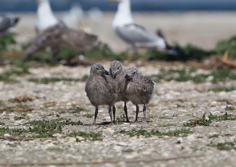 Tre pulcini del gabbiano caspico stanno insieme sulla sabbia immagini stock