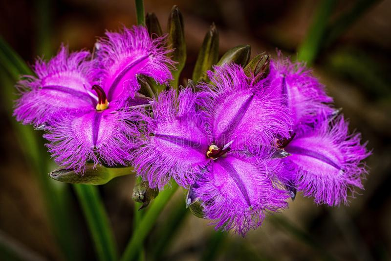 Tre purpurfärgad frans Lily Flowers royaltyfria foton