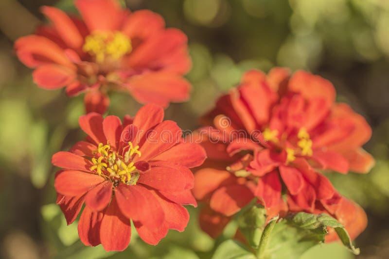 Tre röda blommor med gula stamens arkivfoto