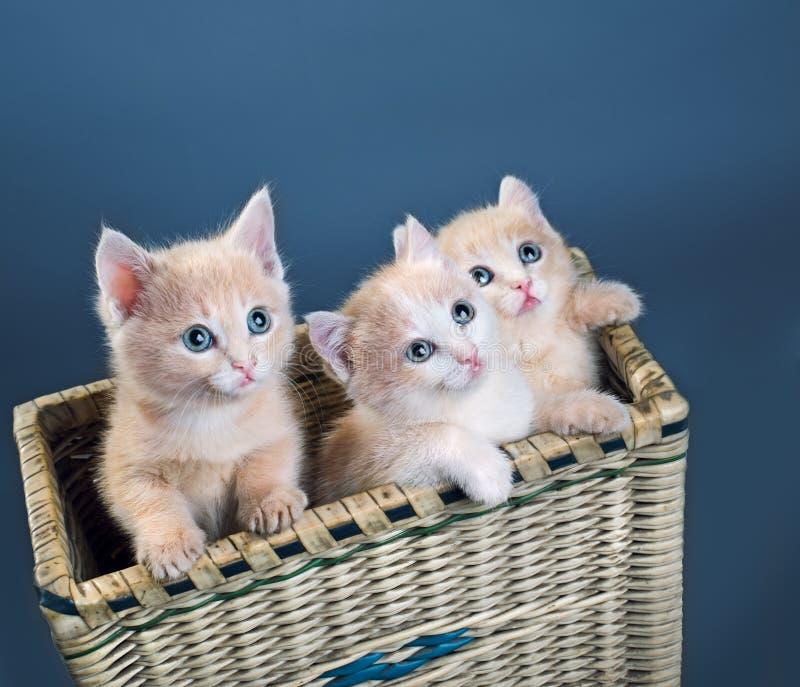 Tre röda kattungar royaltyfria foton