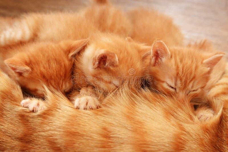 Tre röda kattungar ligger på golvet med deras moder och att dricka henne för att mjölka royaltyfri foto