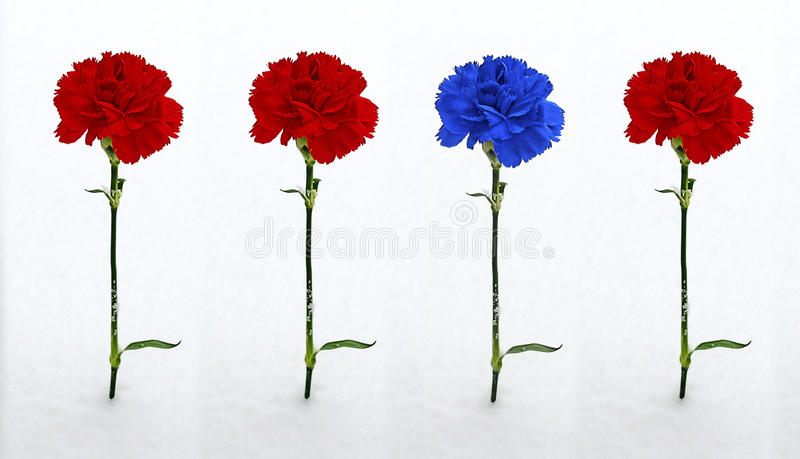 Tre röda och en blåa nejlika i snön royaltyfria bilder