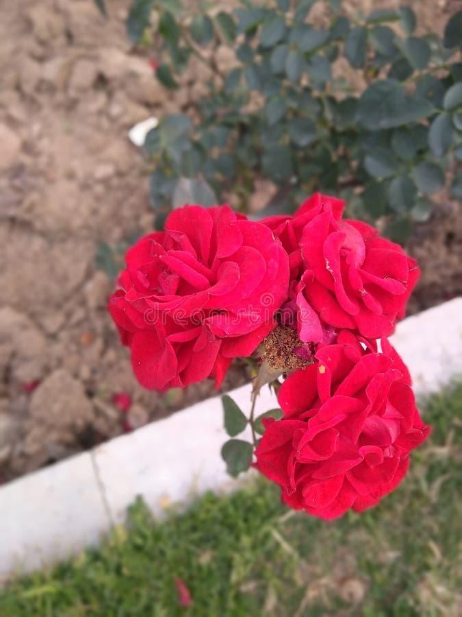 Tre röda rosor och gräsplansidor i en parkera arkivbild