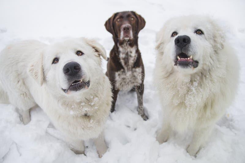 Tre rashundar sitter på snön royaltyfria foton