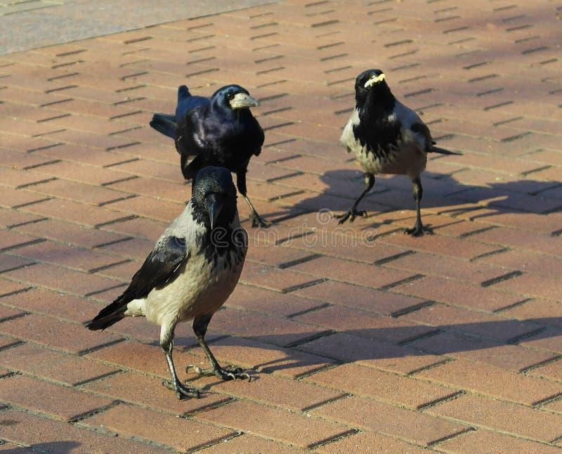Tre ravens i parkerar På den röda tegelplattan i parkera är en folkmassa av ravens royaltyfri foto