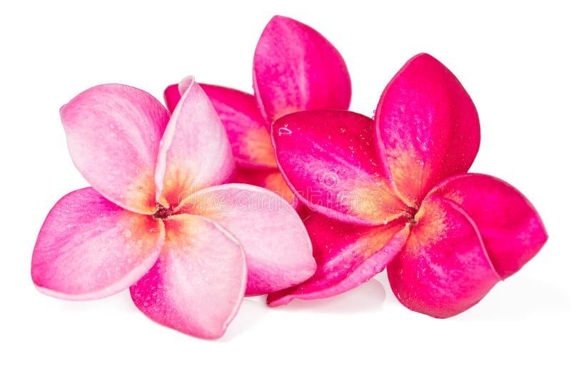 Tre rosa färgFrangipaniblommor på vit bakgrund royaltyfri fotografi
