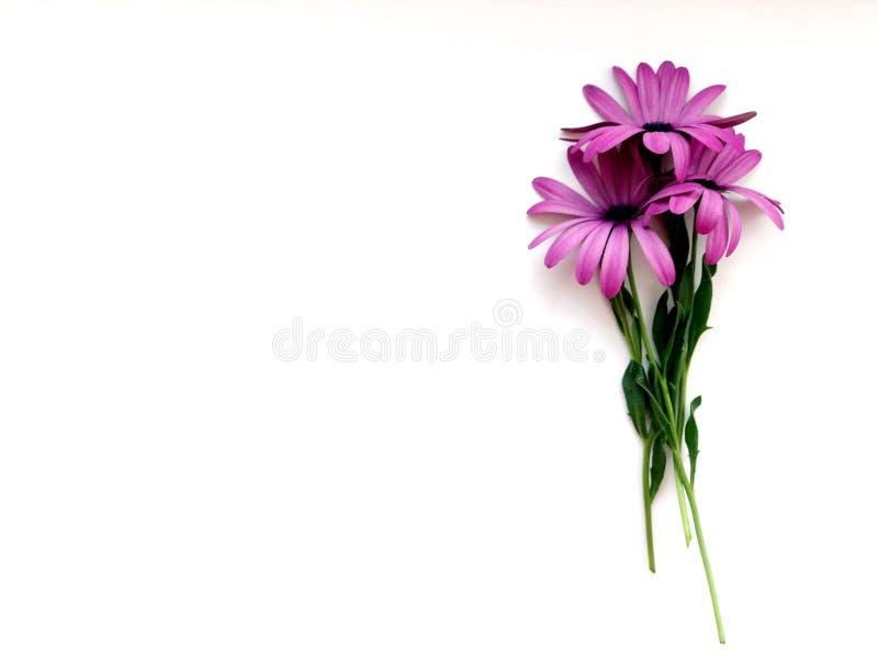 Tre rosa färggerberablommor royaltyfria bilder
