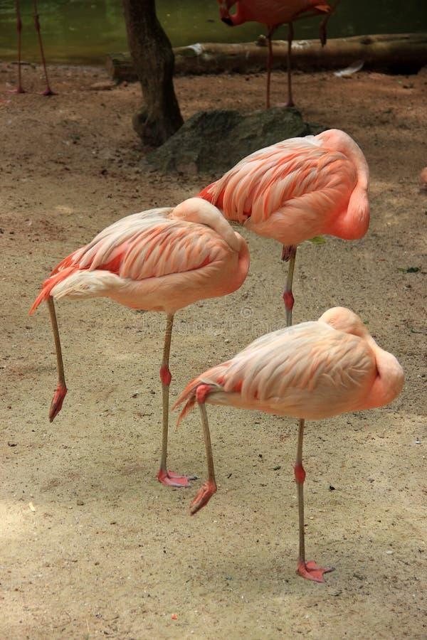 Tre rosa flamingo står fotografering för bildbyråer