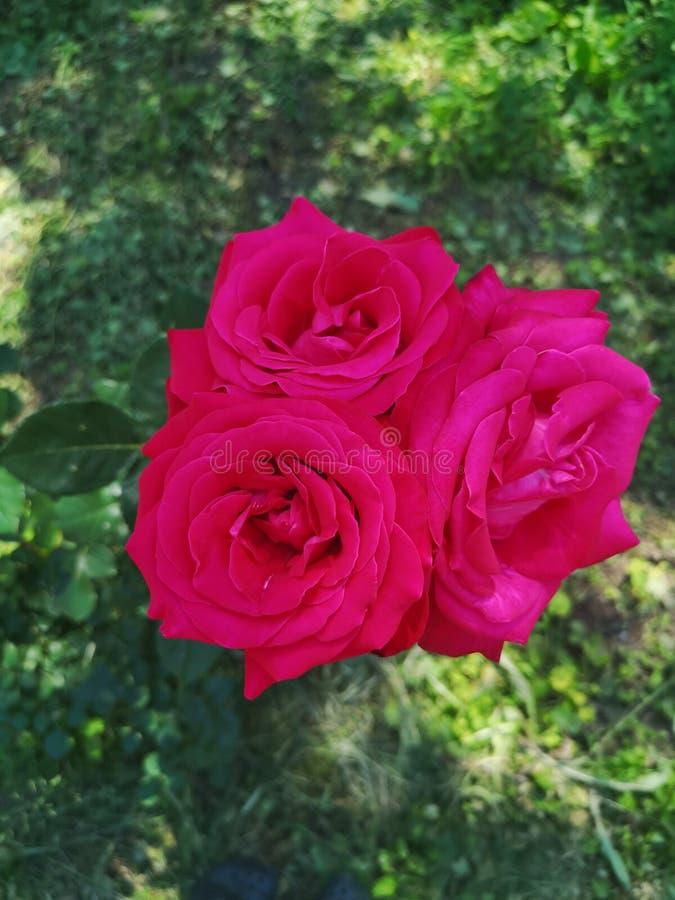 Tre Rosa sugli stessi immagine stock libera da diritti