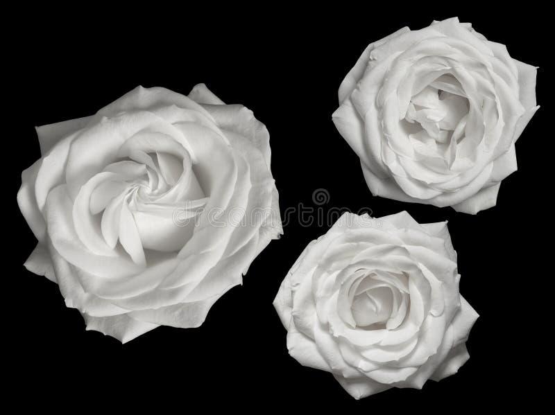 Tre rose bianche pure contro un fondo nero fotografie stock