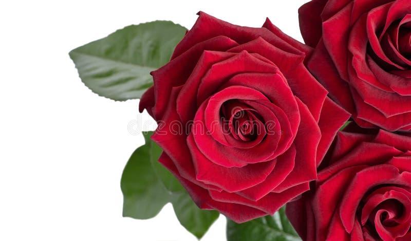 Tre rose rosso scuro fotografia stock libera da diritti