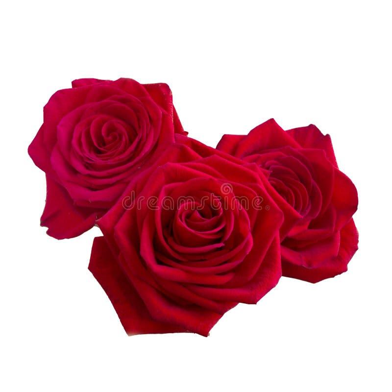 Tre rose rosso scuro fotografie stock