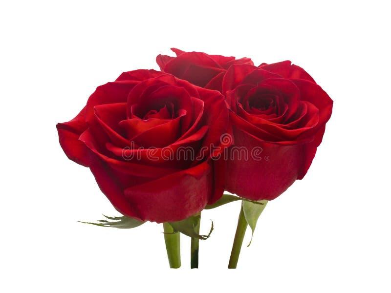 Tre rose rosso scuro immagini stock
