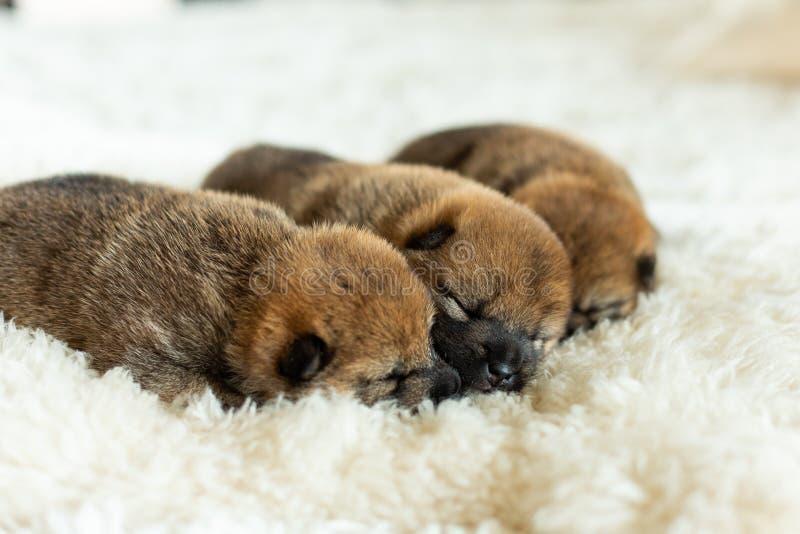tre söta nyfödda röda Shiba Inu valpar som tillsammans sover på filten royaltyfri foto
