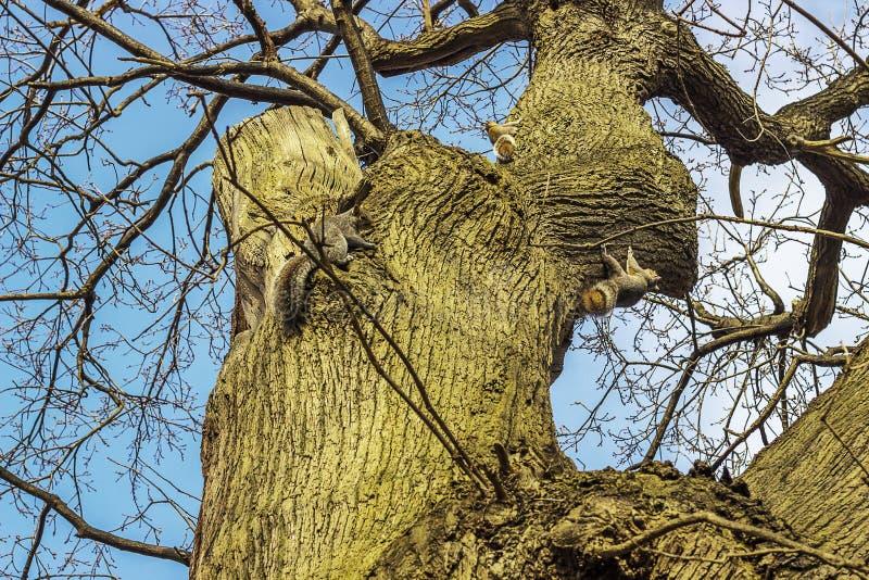 Tre scoiattoli grigi immagine stock