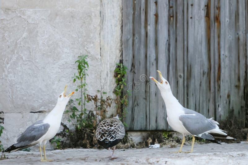 Tre seagulls på betong royaltyfri bild