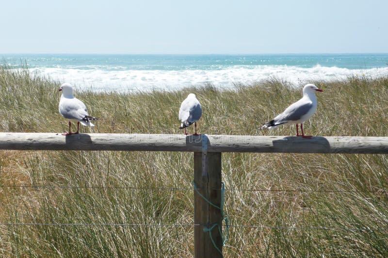 Tre seagulls som sitter på en pol på Stilla havet, Nya Zeeland royaltyfri fotografi