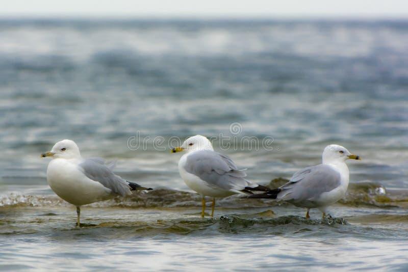 Tre seagulls som står i grunt vatten på sjökust fotografering för bildbyråer