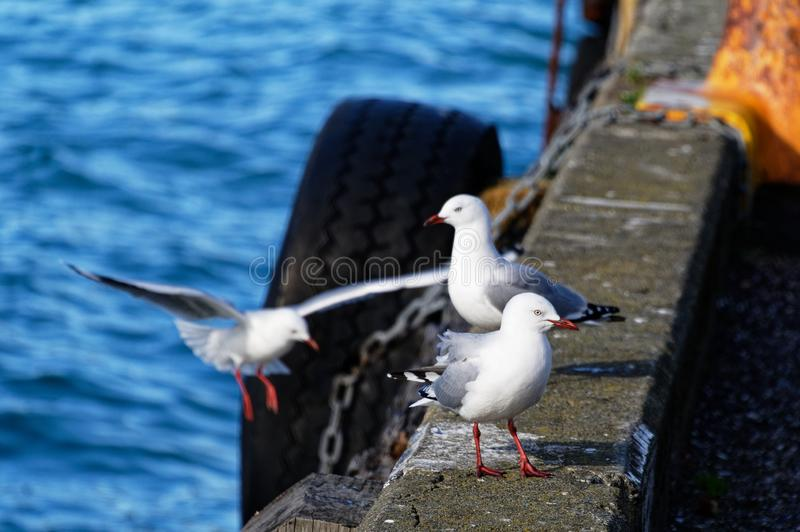 Tre seagulls som står på den konkreta kanten av en pir royaltyfri foto