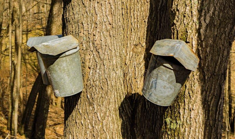 Tre secchi sugli alberi di acero che raccolgono linfa fotografie stock