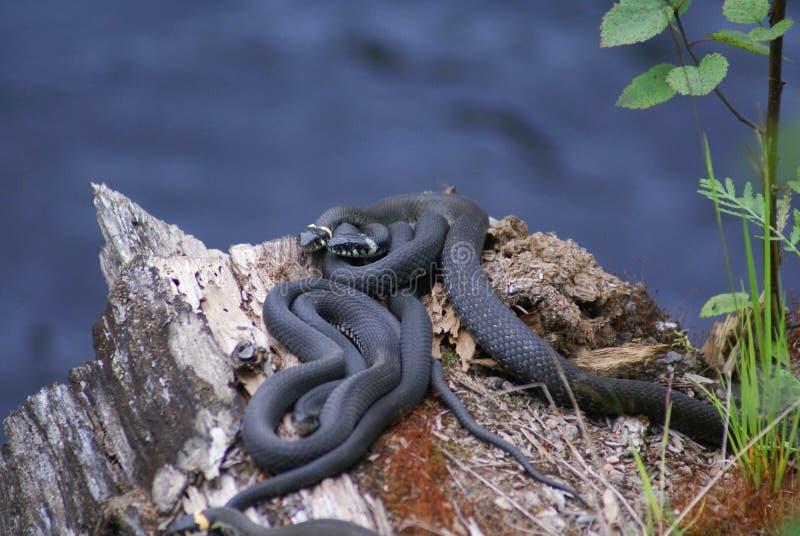 Tre serpenti erba i serpenti si trovano su un vecchio albero caduto fotografie stock