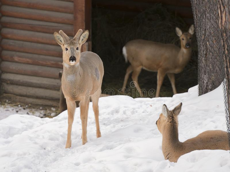 Tre Siberian rådjur på snön royaltyfria bilder
