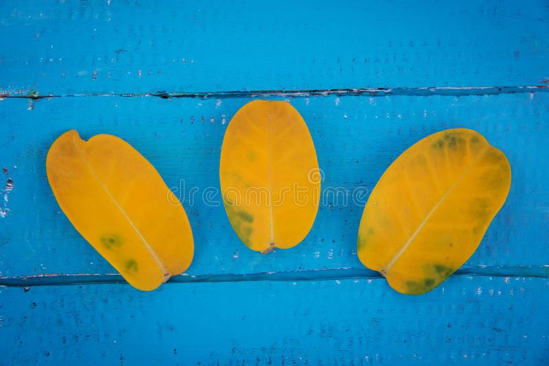 Tre sidor för gul jasmin på en träbakgrund royaltyfria foton