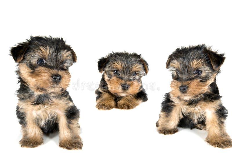 Tre sidor till en Yorkshire Terrier valp arkivbild