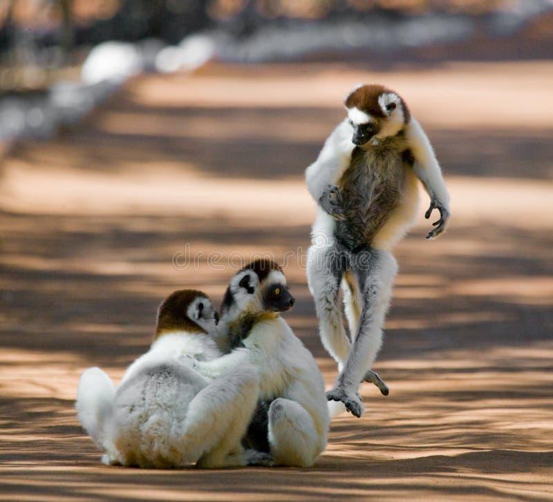 Tre Sifakas ballante su terra Maschera divertente madagascar immagine stock
