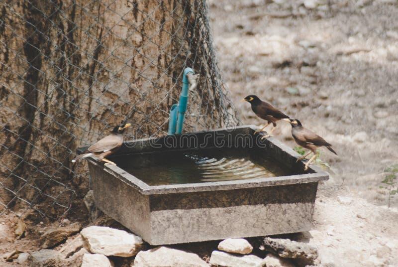 Tre sjunga Mayna fåglar sätta sig på vatten badar kanten under det stora trädet royaltyfria bilder