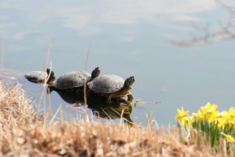 Tre sköldpaddor som Sunning 2019 II fotografering för bildbyråer