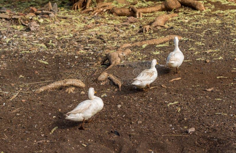 Tre smutsiga lilla änder som går i en gårdsplan efter ett bad royaltyfri bild