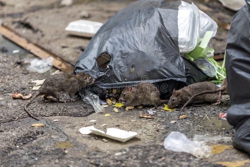 Tre smutsiga möss äter skräp bredvid de arkivbild