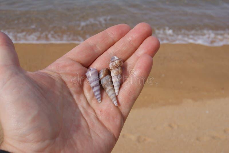 Tre snäckskal i hand på stranden royaltyfri foto