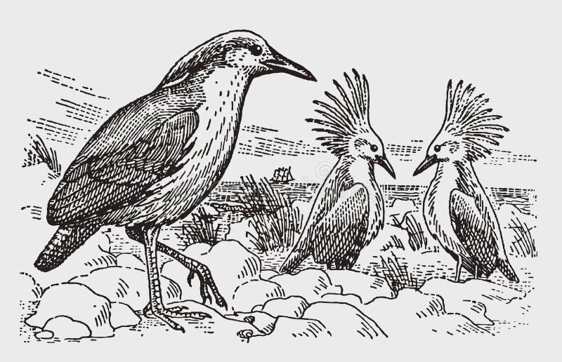 Tre som är sällsynta, och utsatt för fara anseende för kagusrhynochetosjubatus i ett stenigt landskap vid havet vektor illustrationer