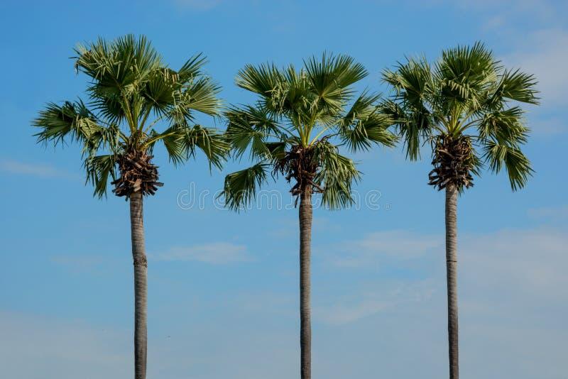 Tre spensliga palmträd mot blå himmel thailand royaltyfri foto